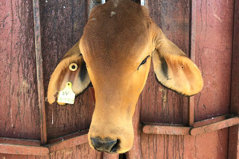 Image source: Anne Sprague. This is one of her cows with a unique electronic identifier tag
