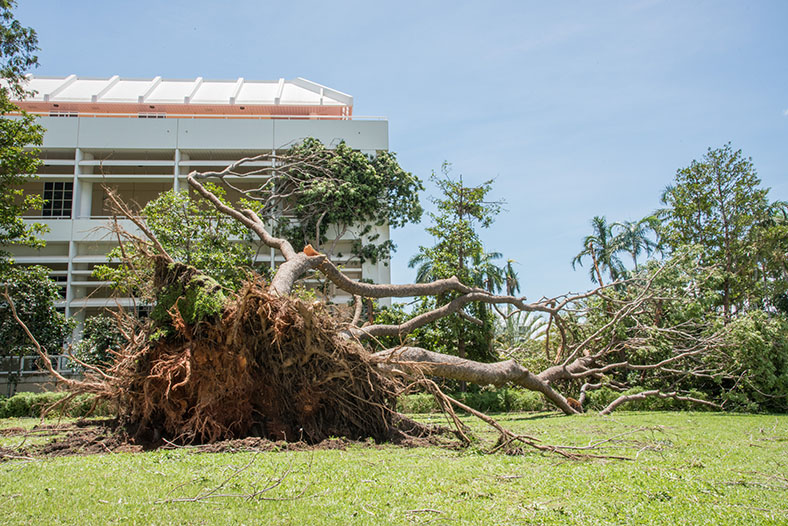 tree up-turned in cyclone