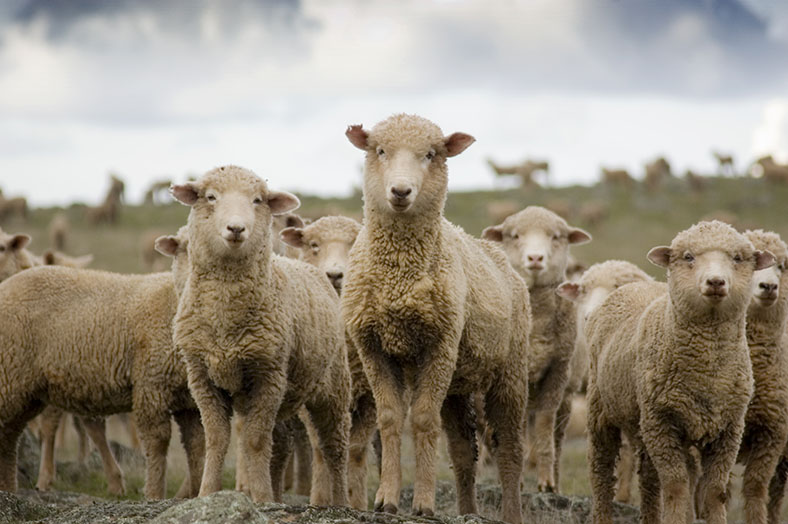 Sheep in a paddock represent a complex scene worth lots of data